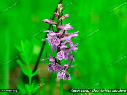 Keseli Salep - Çiçekli Bitki
