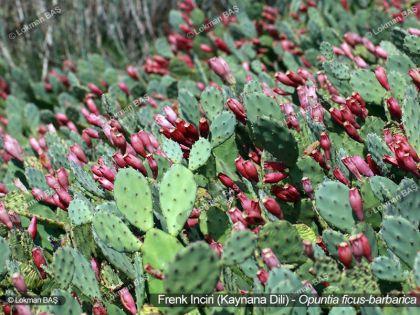 Frenk İnciri (Kaynana Dili) - Çiçekli Bitki