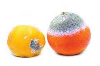 Meyvede Küf Mantarı