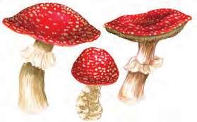 Şapkalı Mantar Örnekleri 2