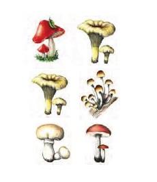Şapkalı Mantar Örnekleri 1