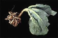 Parazit Mantar - Lahana Zararlısı