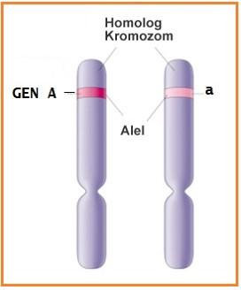 Alel Gen