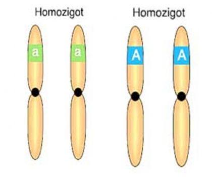 Homozigot (Arı Döl)