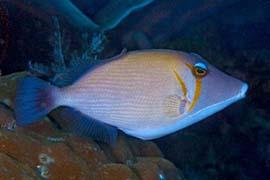 Tırpana Balığı