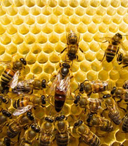 Arılarda Varyasyon