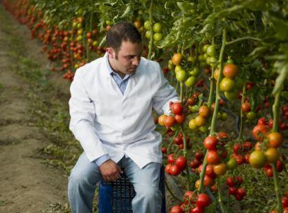 Biyo-teknoloji uygulamaları ile üretilmiş çok ürün veren domatesler