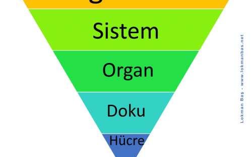 Hücresel Organizasyon Şeması - Hücreden Organizmaya