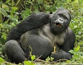 Goriller Nerede Uyur?