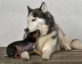 Dünyadaki En Küçük Köpek Hangisidir?